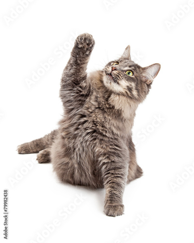 Photo Cute Playful Gray Cat Lifting Paw