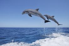 Latin America, Honduras, Bay Islands, Roatan, Bottlenose Dolphin Jumping In Caribbean Sea