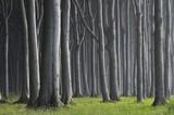 Fototapeta Las - Mecklenburg-Western Pomerania, Beech tree forest