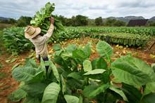 Tobacco Farmers Collect Tobacc...