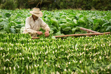 Tobacco Farmers Collect Tobacc...