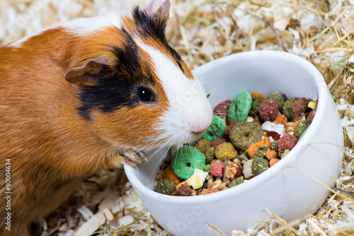 Photo  Cavy eats