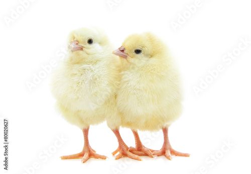 Obraz na plátně Cute little chicks on white background