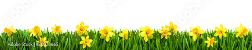 In de dag Narcis Osterglocken auf der Wiese