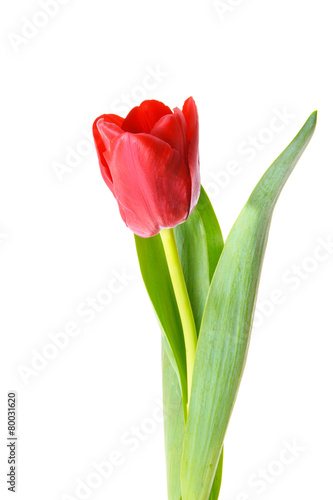 Foto op Plexiglas Tulp Beautiful red tulip. Isolated