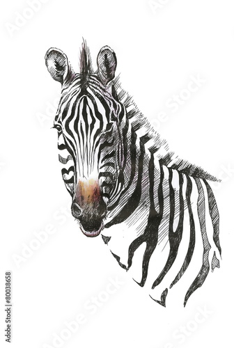 akwareli-zebra-odizolowywajaca-na-bialym-tle