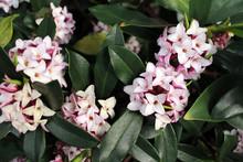 Flowers Bloom In Spring Emit A...