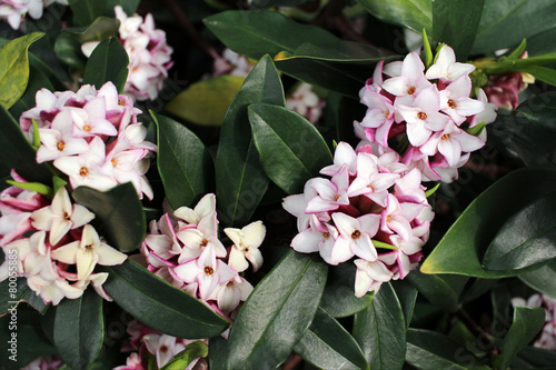 Photo Flowers bloom in spring emit a nice fragrance, daphne