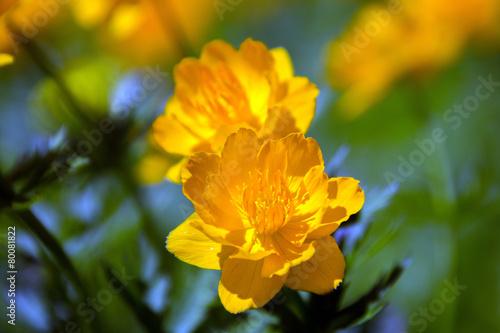 Garden Poster Narcissus orange globe-flower