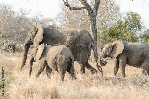 Staande foto Leeuw Elephants in Kruger Park