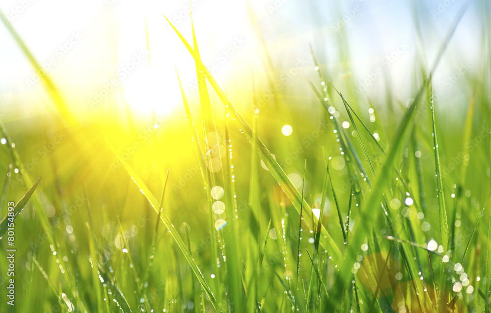 Fototapety, obrazy: Grass. Fresh green spring grass with dew drops closeup