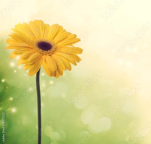 Fotografie, Obraz  Yellow gerbera