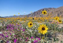 Wildflowers In Anza Borrego Desert