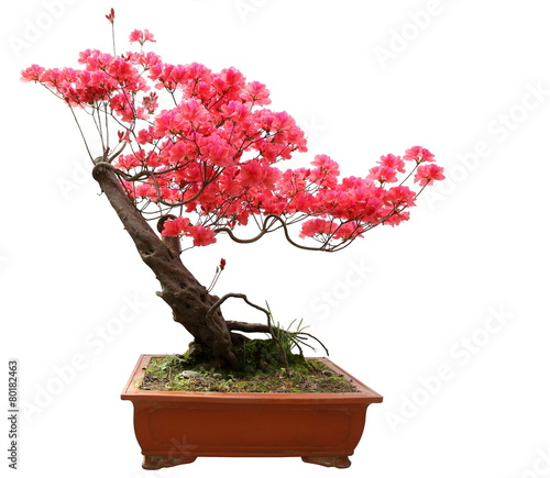 Montage in der Fensternische Bonsai Red azalea bonsai isolated on white background