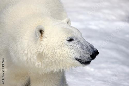 In de dag Ijsbeer A smiling polar bear (Ursus maritimus) profile.
