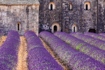 Fototapeta Lawenda Blooming field of Lavender in front of Senanque, France