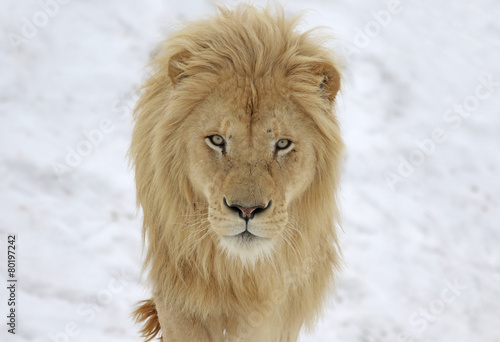 A White Lion (Panterha leo krugeri) staring at the camera.