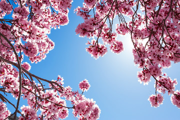 FototapetaSpring tree with pink flowers