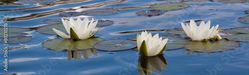 Foto auf Gartenposter Wasserlilien 3 weißen Seerosen auf der blauen Wasseroberfläche