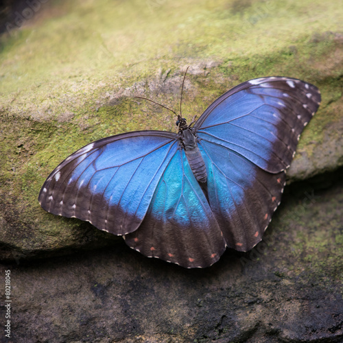 Fotografie, Obraz  Common Blue Morpho Butterfly