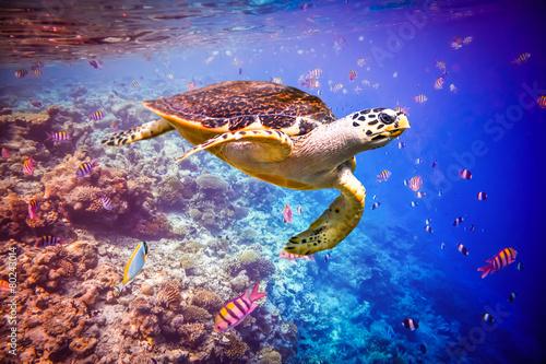 Foto op Plexiglas Schildpad Hawksbill Turtle - Eretmochelys imbricata