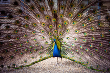 The Peacock Spreads Its Magnif...