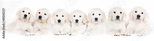 seven golden retriever puppies lying down together Wallpaper Mural