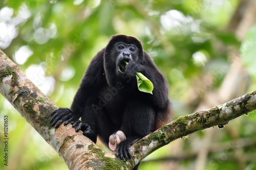 Foto op Plexiglas Aap Male of howler monkey eating