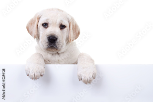 Fotografie, Obraz  Puppy dog holding sign or banner isolated