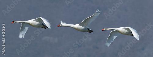 Deurstickers Zwaan Flock of three mute swans in flight
