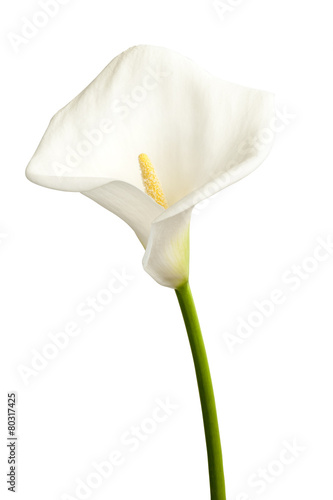 Photo Single calla
