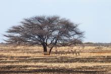 Herd Of Springbok Antelopes, Kalahari Desert, Botswana.