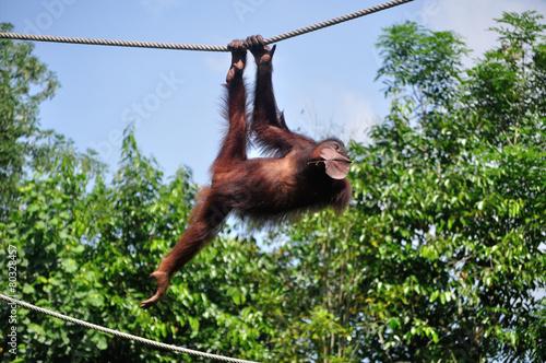 Foto op Aluminium Aap Orang Utan swinging on a rope