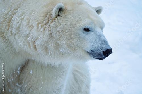 In de dag Ijsbeer Белый медведь.