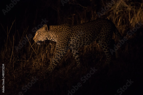 Photo Stands Panther Lone leopard hunting under cover of darkness