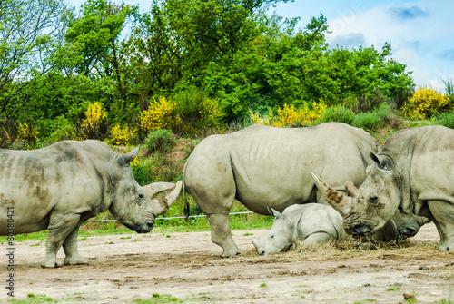 Spoed Foto op Canvas Neushoorn Rhinocéros blanc, Ceratotherium simum