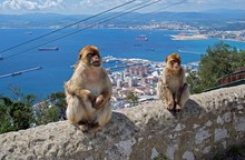 Barbary Apes, Gibraltar © Are...