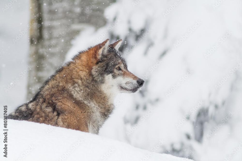 Fotografía Retrato del lobo gris en la nieve | Europosters.es