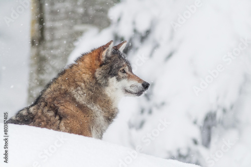 Valokuva  portrait grey wolf in the snow