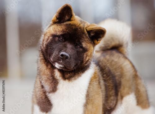 american akita dog Canvas Print