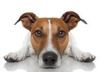 Dog Looking At You