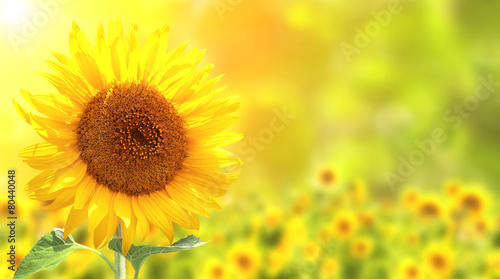 In de dag Zonnebloem Sunflowers