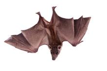 Egyptian Fruit Bat Isolated On...