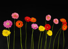 Set Of Colorful Gerbera Flowers On Black Background