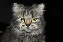 Angry Cat Looking At The Camera