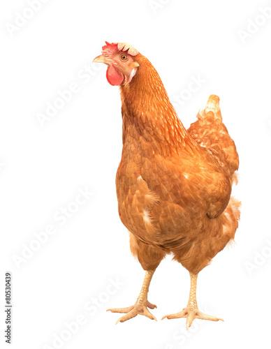 Fotobehang Kip close up portrait full body of brown female eggs hen standing sh