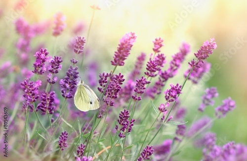 Fotobehang Bestsellers Butterfly on lavender flower