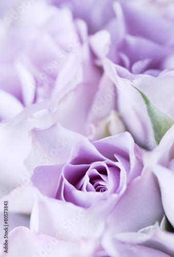 fioletowa-roza