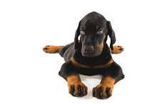 Puppy Of Doberman Pincher