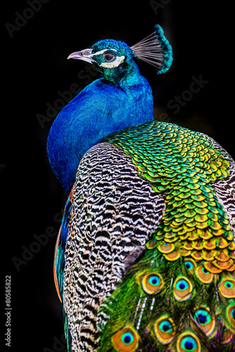Tuinposter Pauw peacock on dark background